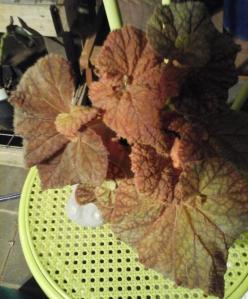 B Rhizome Cowardly Lion (Foliage) | [Grower: K Butterworth]