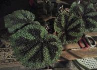 B Rhizome Masoniana - Iron Cross | [Grower: K Butterworth] (Foliage)