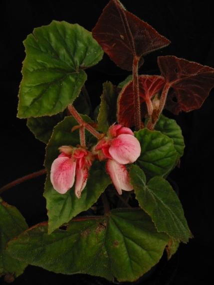 B Sharfii (shrub-like) (flowers) | [Grower: B Moyle]