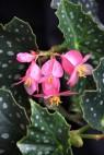 B 'Silver Locket'(Flowers) | [Grower: K Jenvey]