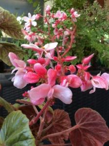 B.Scharffii (Flowers) | [Grower: L Johnston]