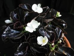 B Black 'n White (semp) (Foliage)