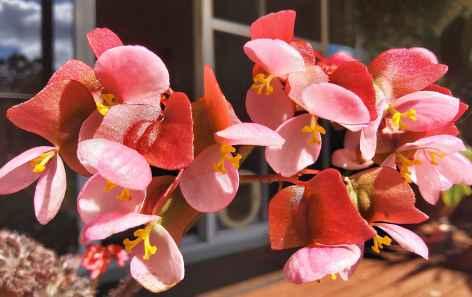 B Bundy Belle (Flowers)