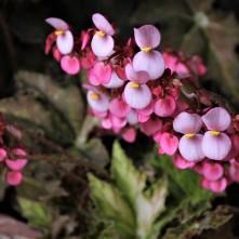 B Cleopatra (Flowers)