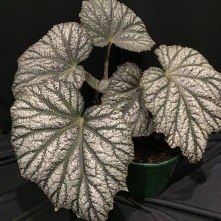 B Grey Ghost (Foliage)