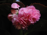 B Pink Jewelite (semp) (Flowers)