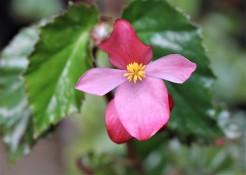 B Richmondensis (Flowers)