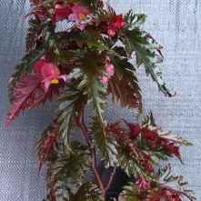 B serratipetala (Foliage)