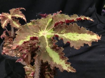 B Ambrose (foliage)