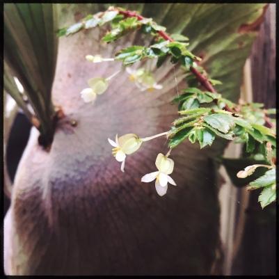 B foliosa (Flower)