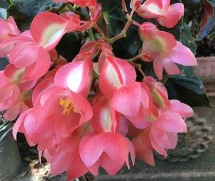 B John Tonkin (flower)