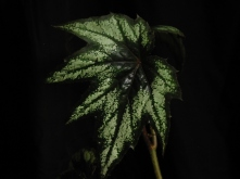 B Little Brother Montgomery (jointed rhizo) (foliage)