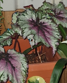 B rex 'Blueberry Sorbet' (foliage)