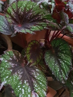 B rex (foliage) [Grower: A Ranasinghe]