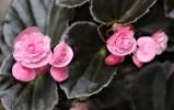 B Semperflorens 'Pink' (Flower)