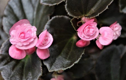 B Semperflorens 'Pink' (Flower)