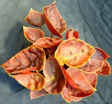 B Wild Mandarin (foliage)