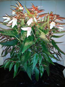 B Boliviensis Bossa Nova Pure White