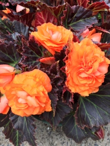 B Bronze leaf double orange tuberous