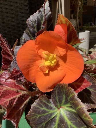 B Orange Tuberous