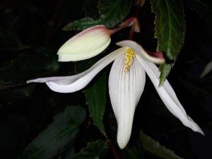 B Boliviensis Bossa Nova Pure White (flower)