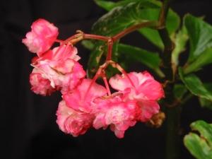B Coconut Ice (semp) (flower)
