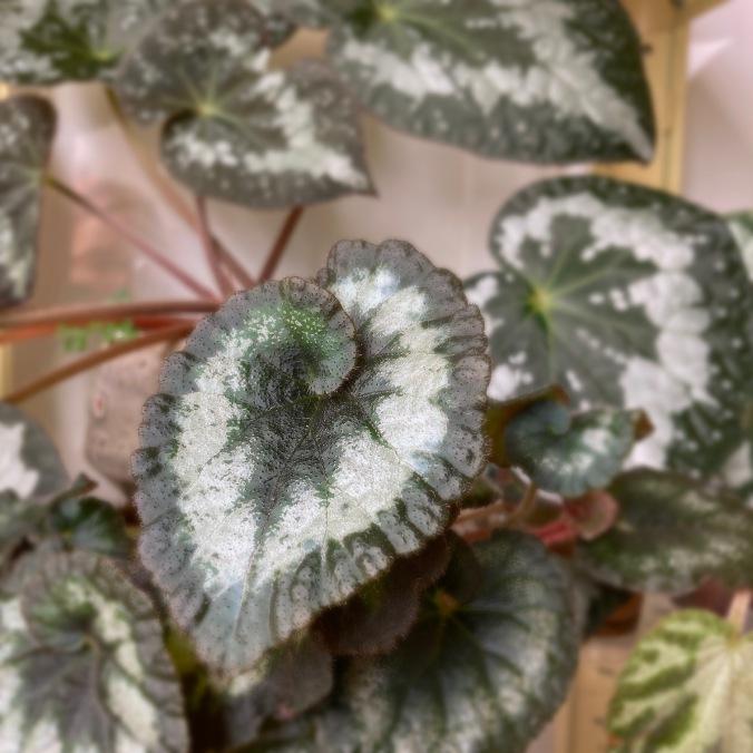 B 'Escargot' (foliage)