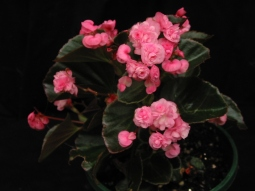 B Fairyland Pink (semp) (flower)