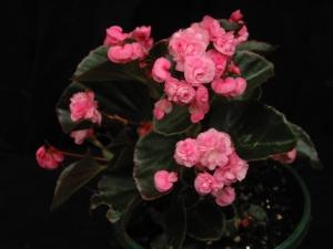 B Fairyland Pink (semp) (flower)