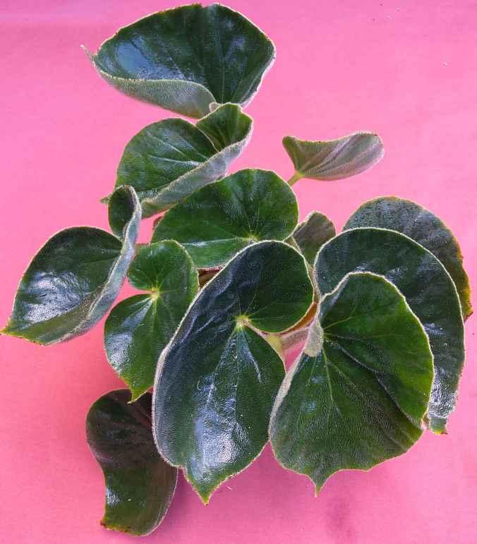 B fernandocostae (foliage)