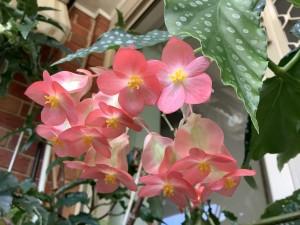 B maculata var elegentisima (flower)