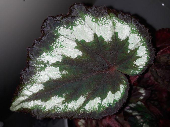 B Rex 'Helen Lewis' (foliage)