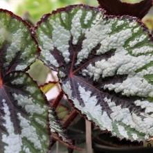 B Rex (foliage)