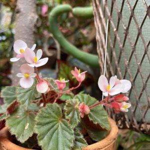 B schmidtiana (flower)