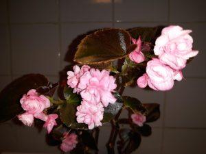 B semperflorens (bronze leaf) doublet pink (flower)