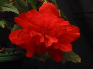 B Tenella Red (tub) (flower)