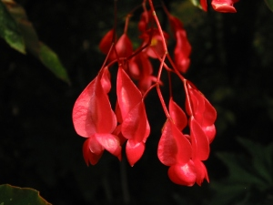 B Unknown Red Cane (flower)