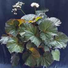 B Yorke's Serenata (foliage)