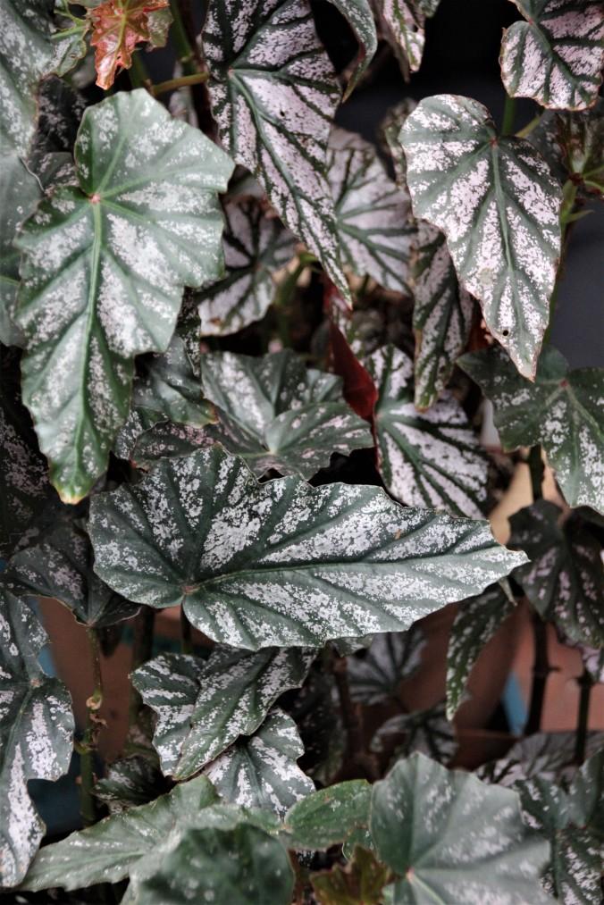 B. 'Garnet' (foliage)
