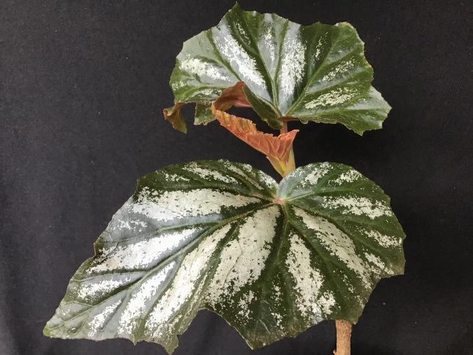 B. Lana (foliage)