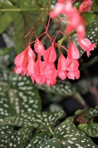 B. 'Olei Silver Spot' (flower)