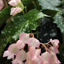 B. 'Silver Locket' (flower)