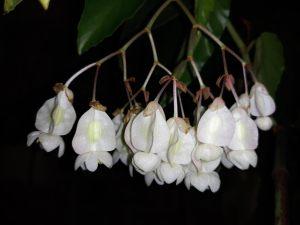 B 'White Showers' (flower)
