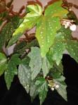 B Medora (foliage)