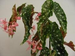 B Annan Spice (cane) (flowers)