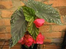 B Kay West (cane) (flowers)
