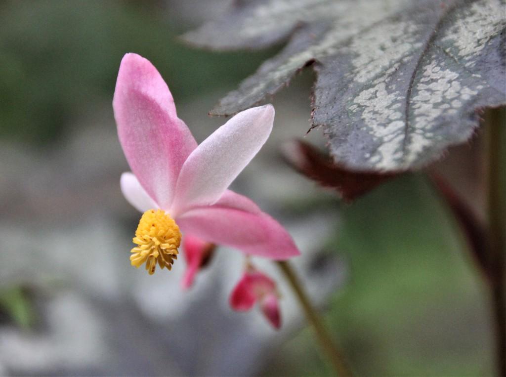 B 'Little Brother Montgomery' (flower)