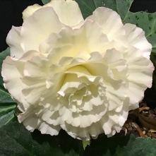 B Madeline (flowers)