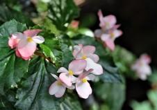 B 'Richmondensis' (flowers)