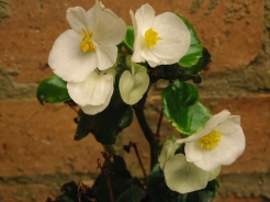 B Single White Semp (flowers)